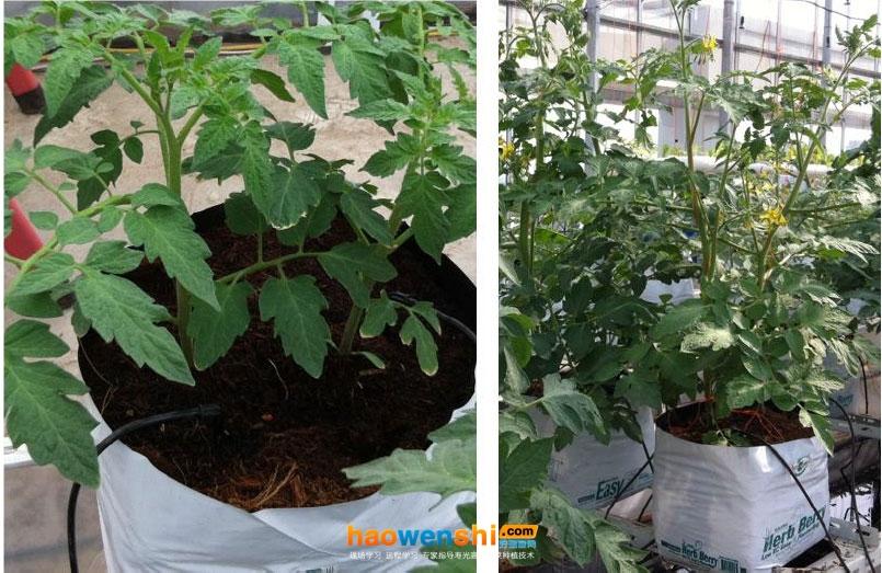 椰糠栽培的应用与发展趋势!椰糠栽培有哪些优势呢?