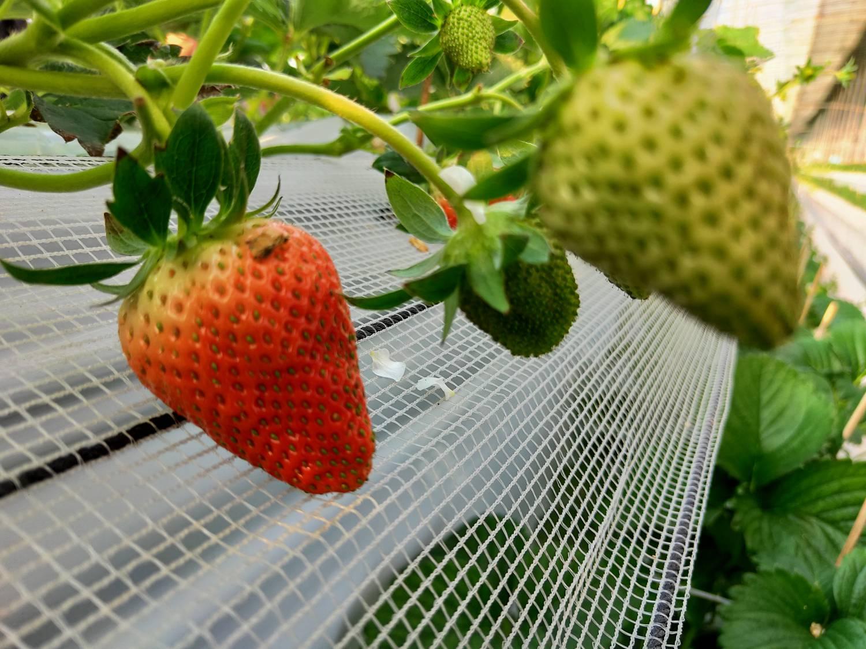 无土栽培高架草莓.jpg